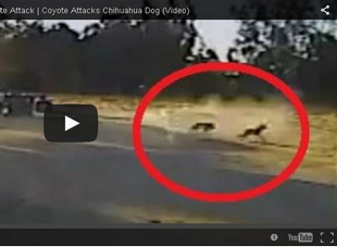 thinkhurt.com_coyote_attacks_dog_other_dog_saves_it